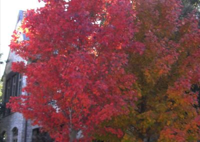 October Glory Red Maple (Autumn)